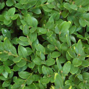 Arbustes persistants