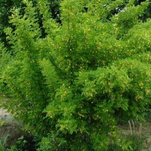 Arbustes à haies